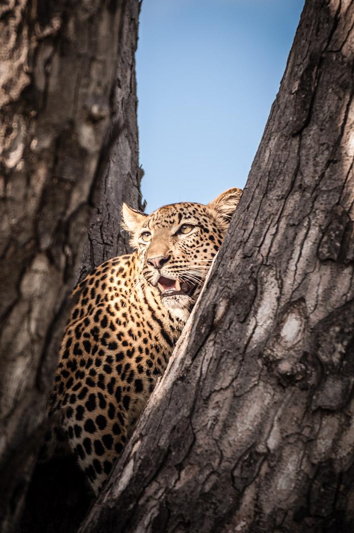 Botswana, Okavango Delta. Leopard