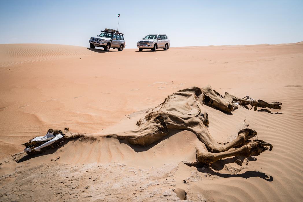 Abu Dhabi: Wüste Rub al-Khali. Verdurstetes Kamel.