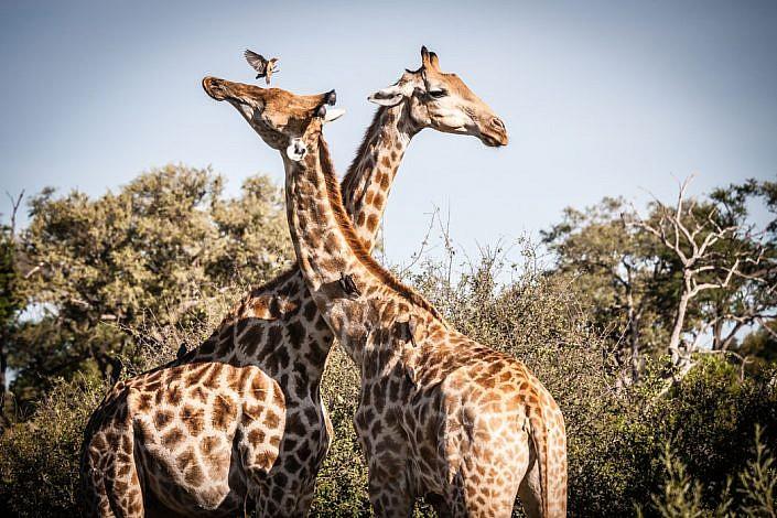 Botswana, Okavango Delta. Giraffen