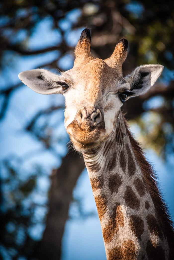 Botswana, Okavango Delta. Giraffe.