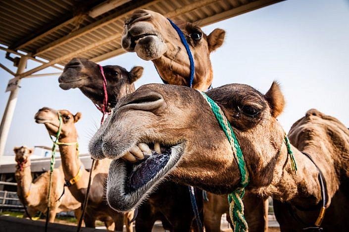 Vereinigte Arabische Emirate: Dubai. Kamelfarm.